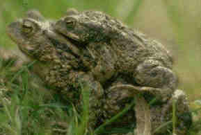 [toads mating]